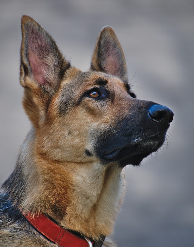 Best Breeds for Police Dogs